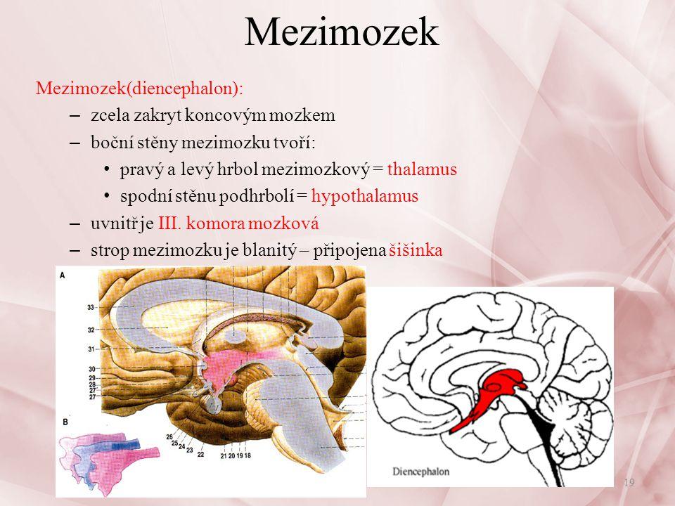 Mezimozek Mezimozek(diencephalon): zcela zakryt koncovým mozkem