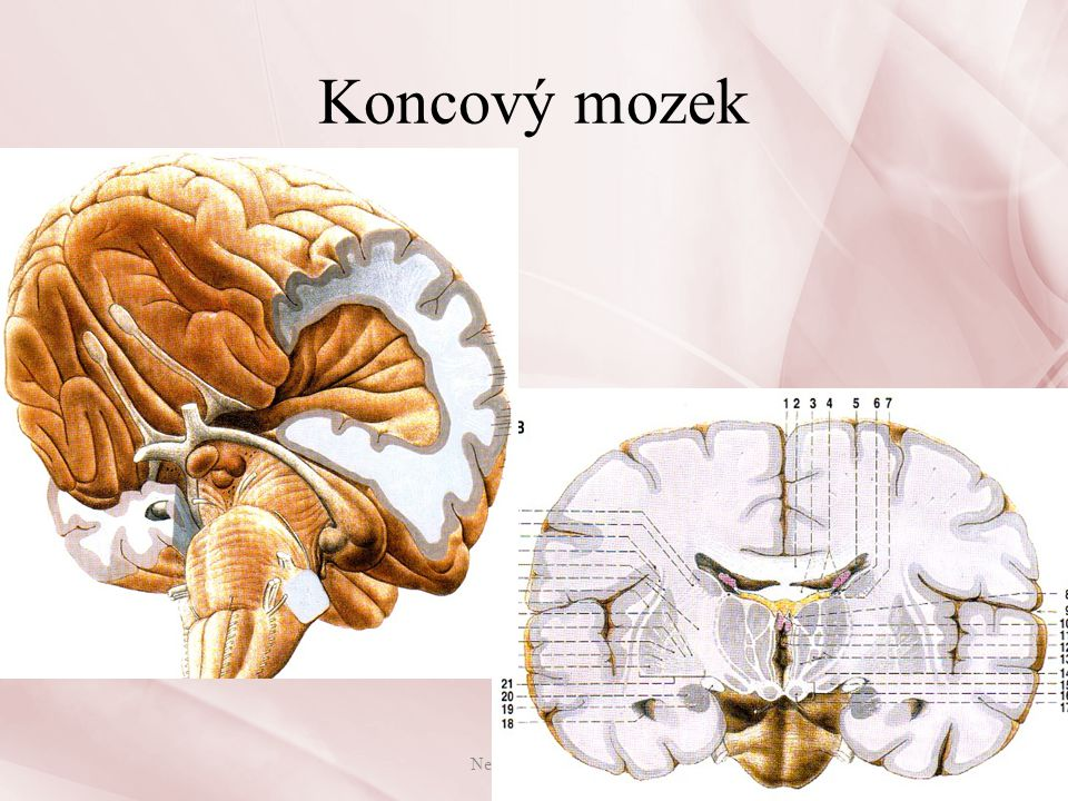 Koncový mozek Nervová soustava