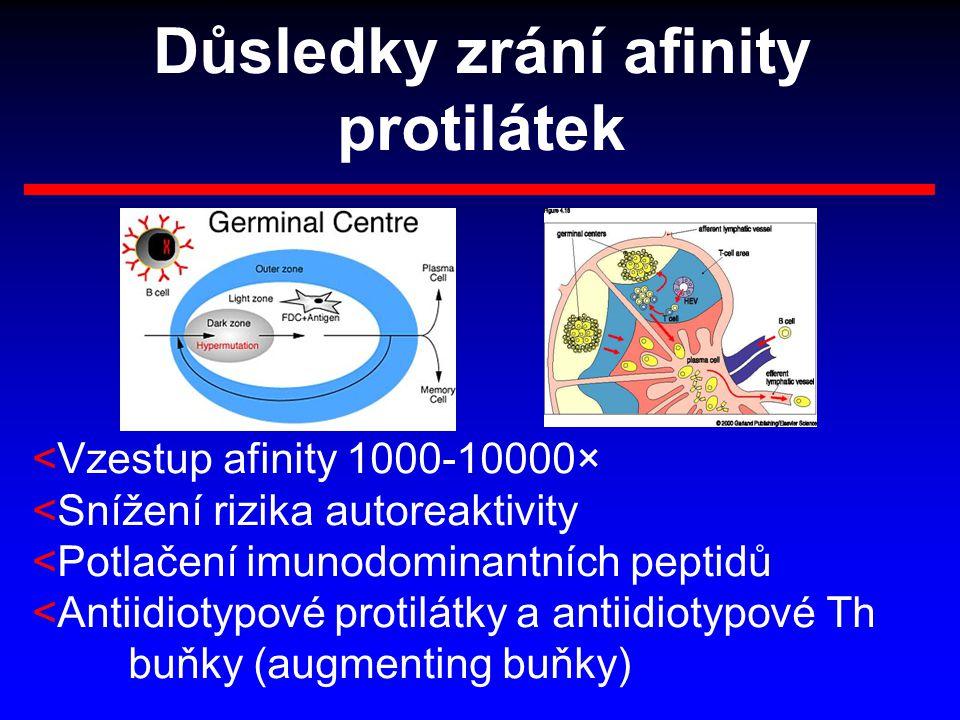 Důsledky zrání afinity protilátek