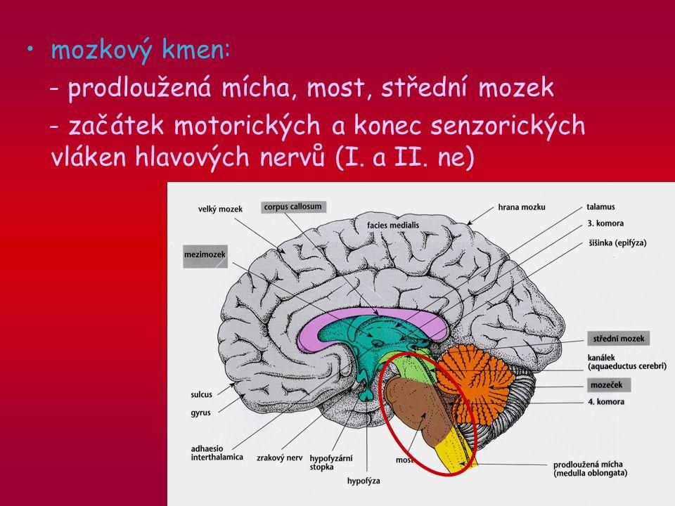 mozkový kmen: - prodloužená mícha, most, střední mozek.