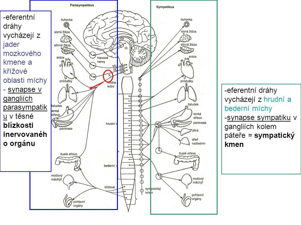 eferentní dráhy vycházejí z jader mozkového kmene a křížové oblasti míchy