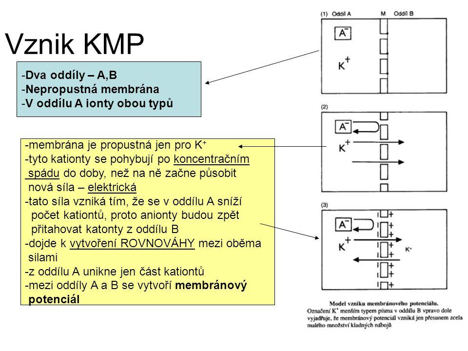 Vznik KMP Dva oddíly – A,B Nepropustná membrána