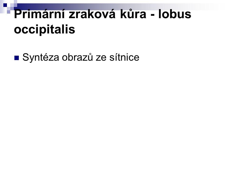 Primární zraková kůra - lobus occipitalis
