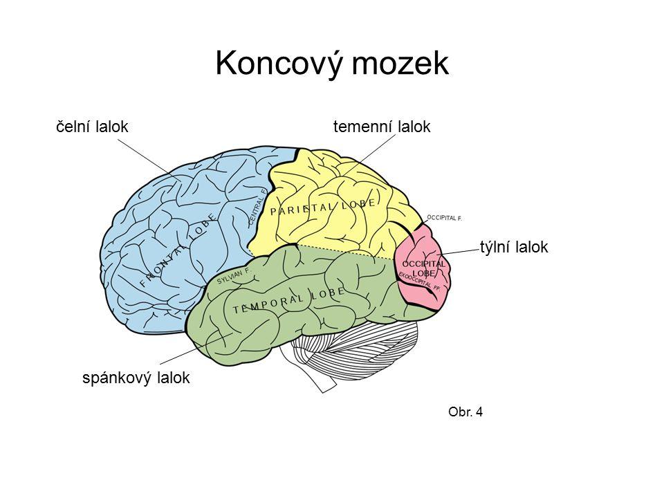 Koncový mozek čelní lalok temenní lalok týlní lalok spánkový lalok