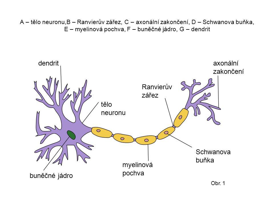 dendrit axonální zakončení Ranvierův zářez tělo neuronu