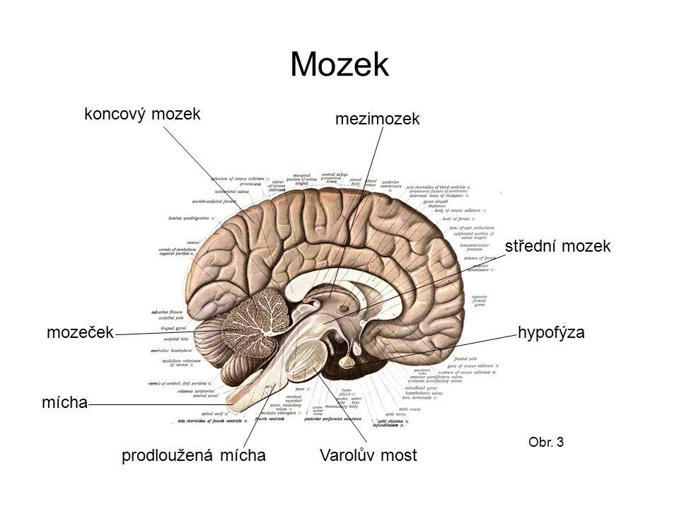 Mozek koncový mozek mezimozek střední mozek mozeček hypofýza mícha