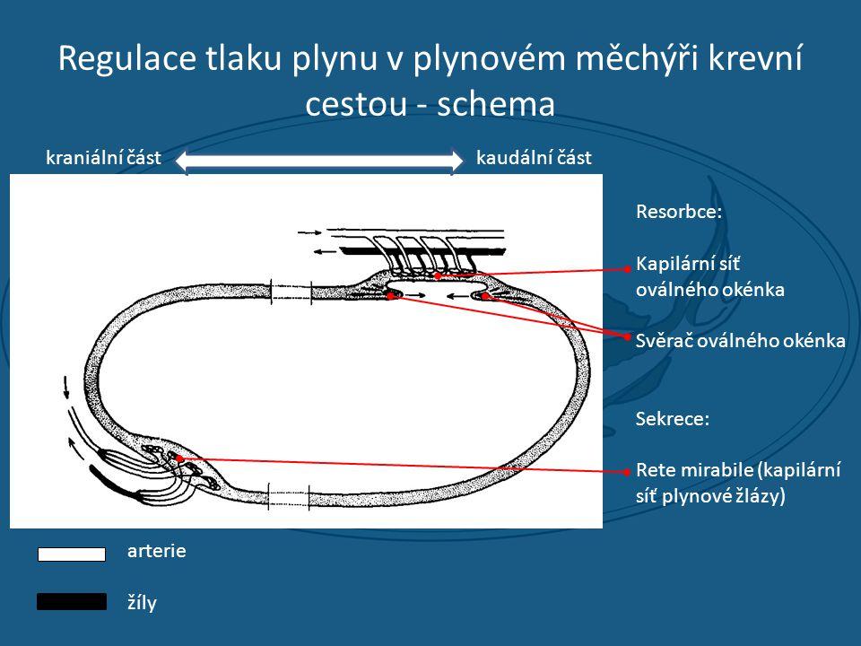 Regulace tlaku plynu v plynovém měchýři krevní cestou - schema