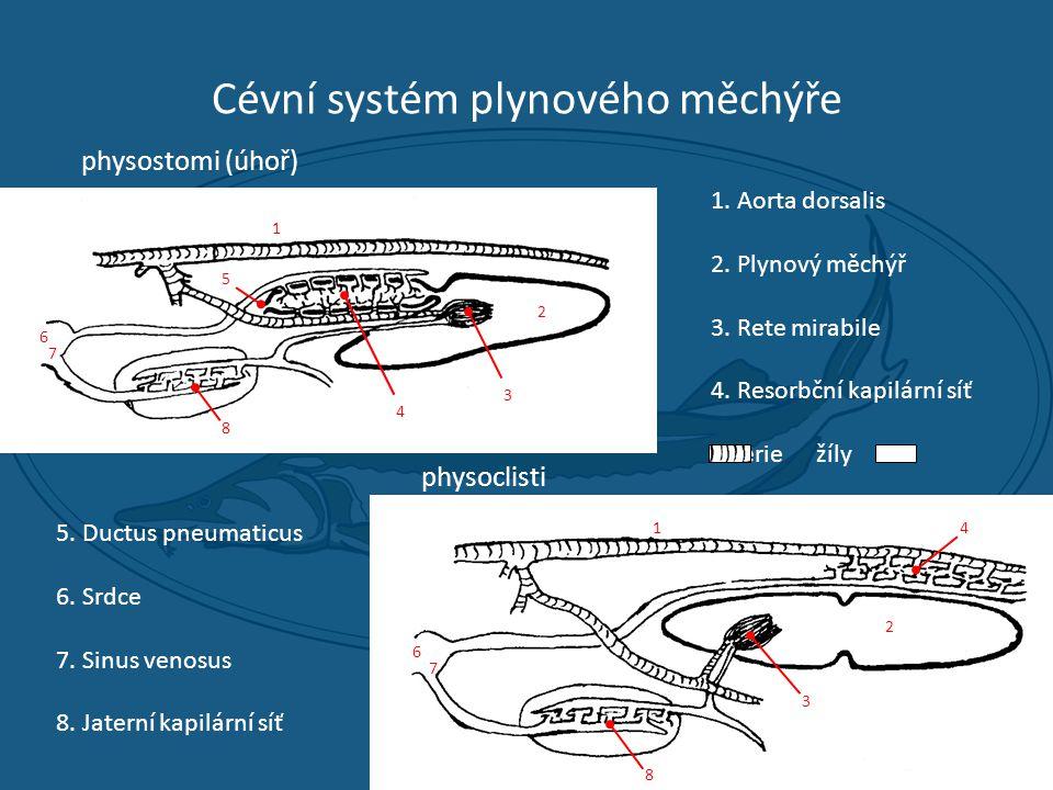 Cévní systém plynového měchýře