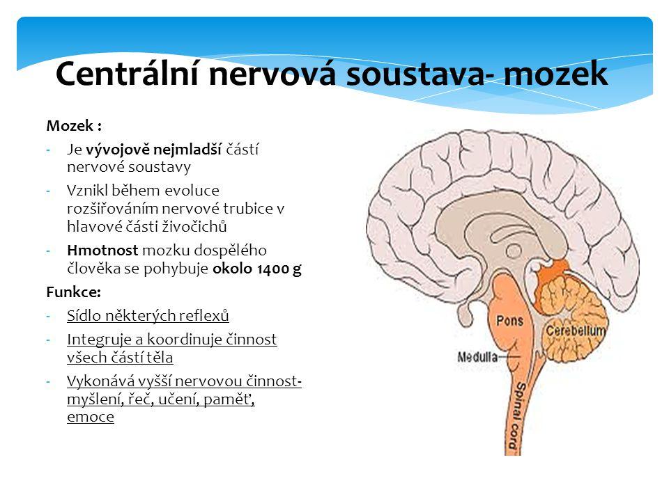 Centrální nervová soustava- mozek