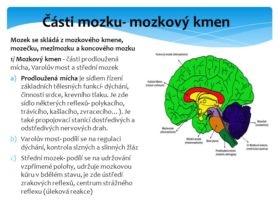 Části mozku- mozkový kmen