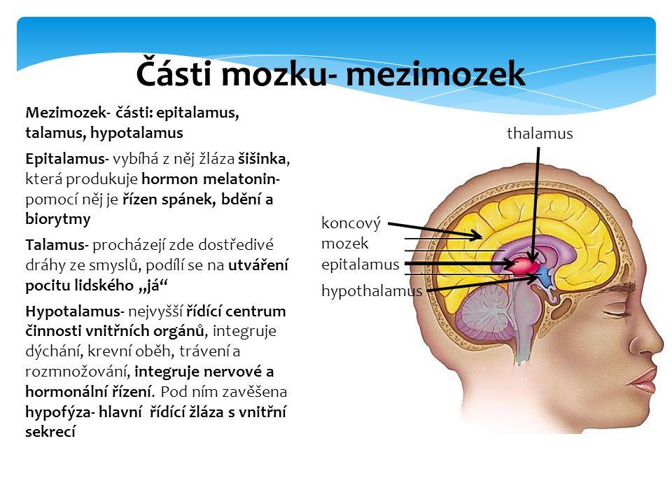 Části mozku- mezimozek