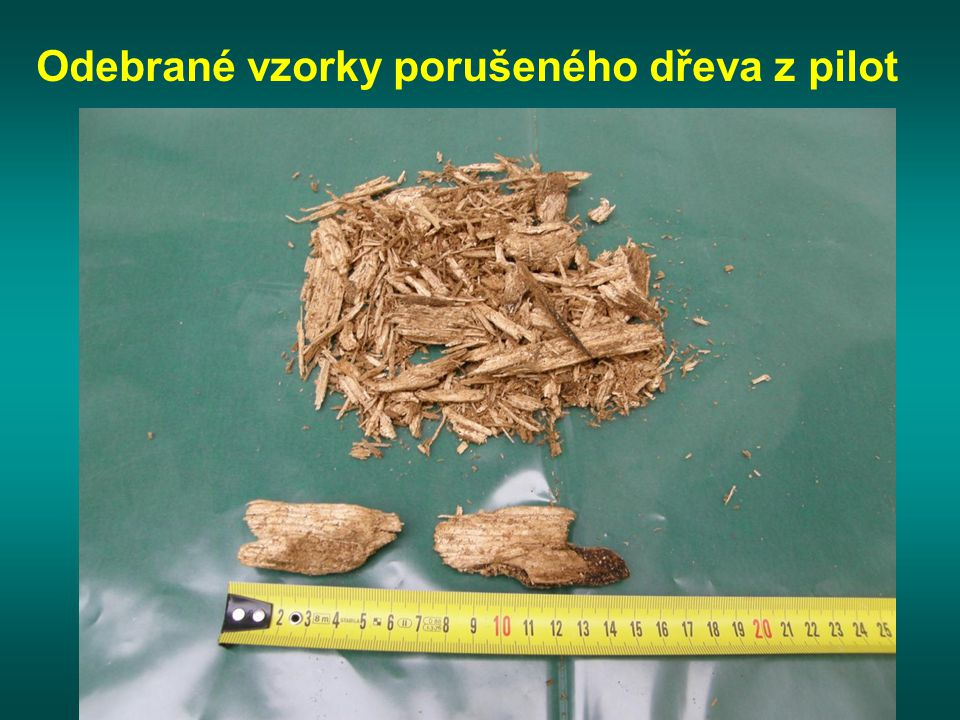 Odebrané vzorky porušeného dřeva z pilot