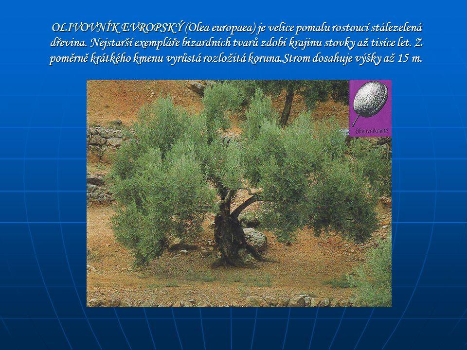 OLIVOVNÍK EVROPSKÝ (Olea europaea) je velice pomalu rostoucí stálezelená dřevina.