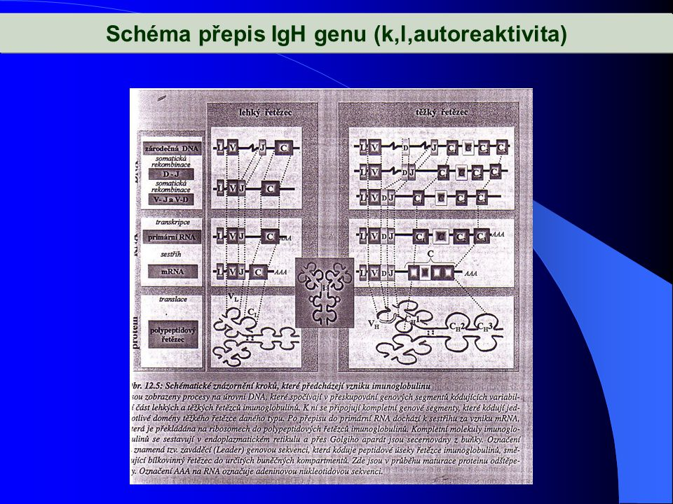Schéma přepis IgH genu (k,l,autoreaktivita)