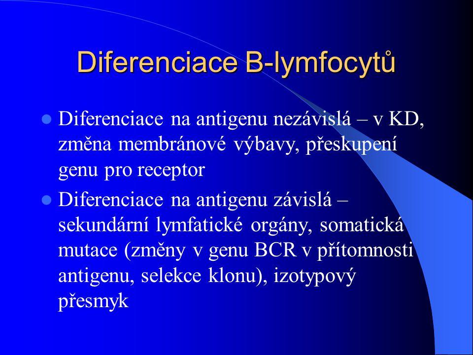 Diferenciace B-lymfocytů