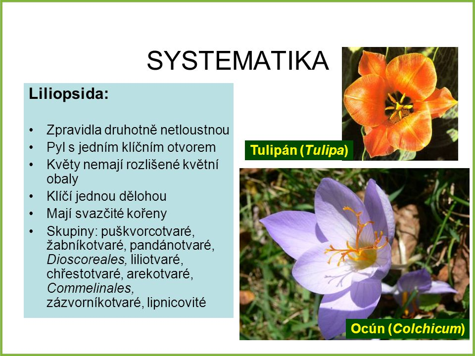 SYSTEMATIKA Liliopsida: Zpravidla druhotně netloustnou