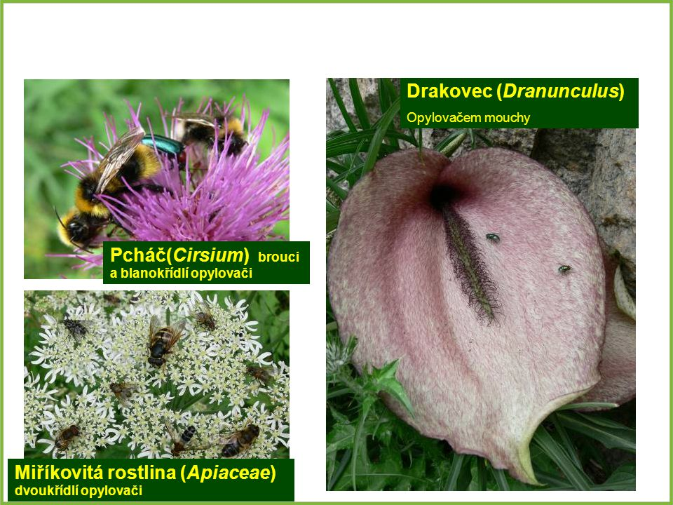 Drakovec (Dranunculus)