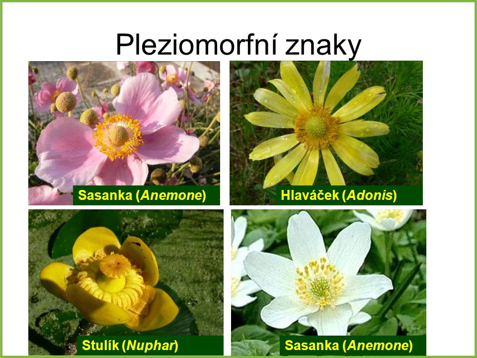 Pleziomorfní znaky Sasanka (Anemone) Hlaváček (Adonis) Stulík (Nuphar)
