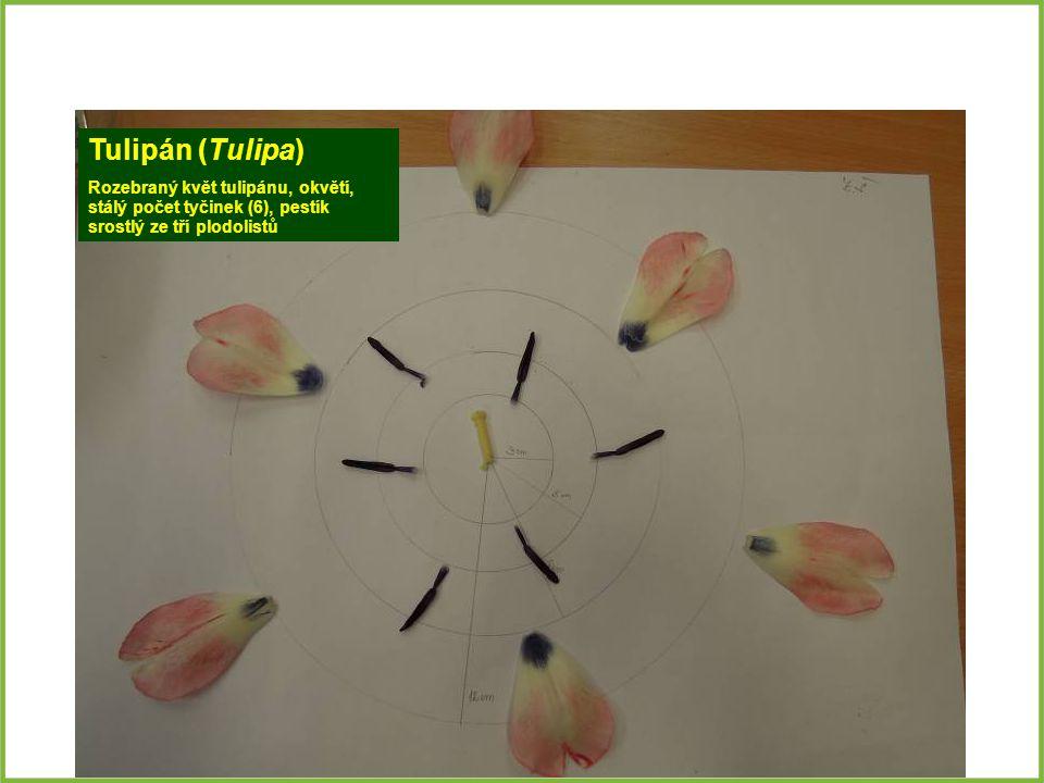 Tulipán (Tulipa) Rozebraný květ tulipánu, okvětí, stálý počet tyčinek (6), pestík srostlý ze tří plodolistů.