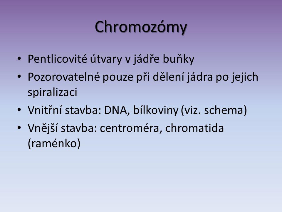 Chromozómy Pentlicovité útvary v jádře buňky