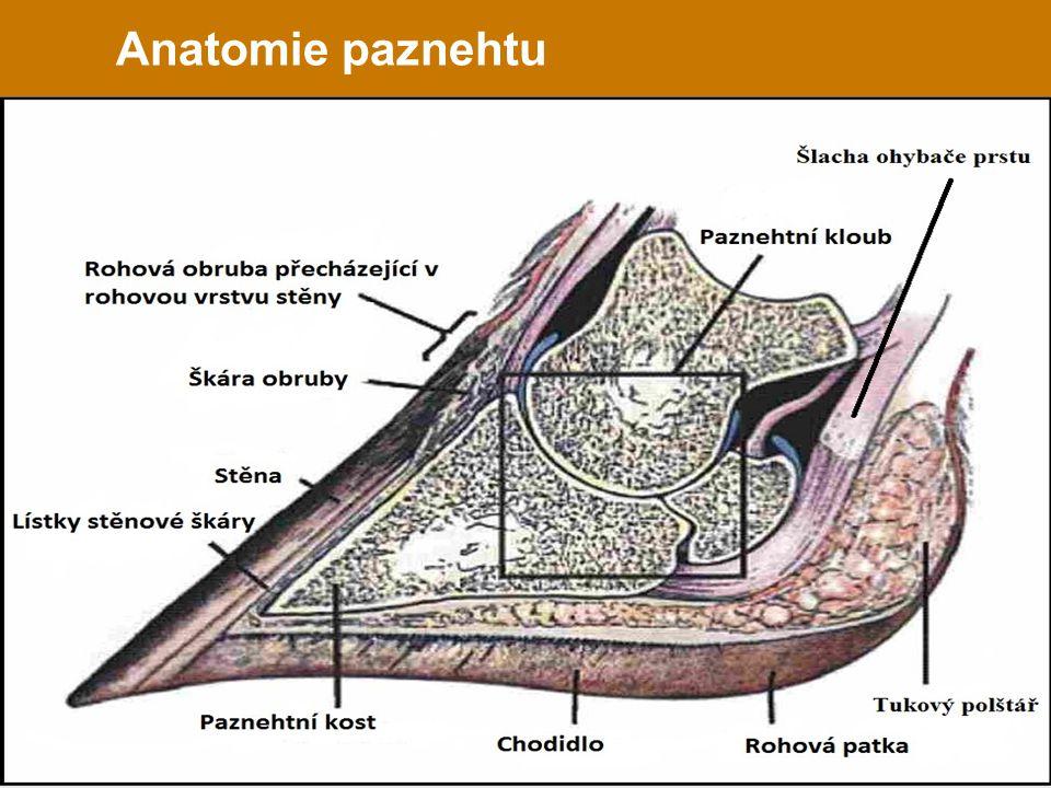 Anatomie paznehtu