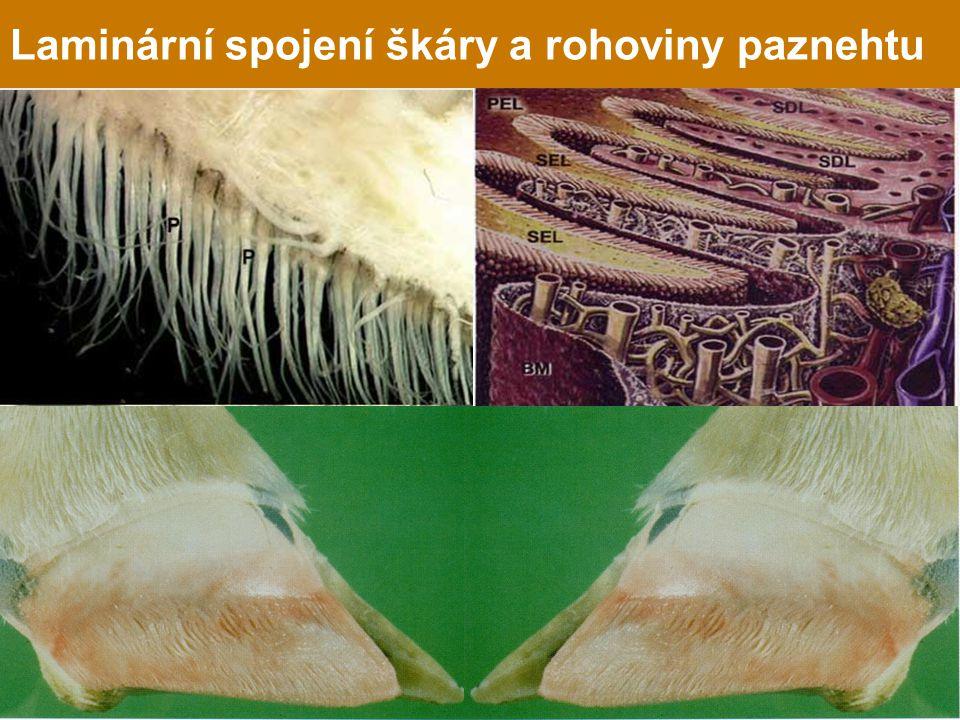 Laminární spojení škáry a rohoviny paznehtu