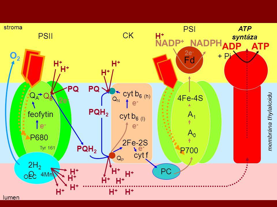 NADP+ NADPH ADP ATP O2 Fd PSI PSII CK H+ + Pi H+ H+ H+ H+ PQ PQ