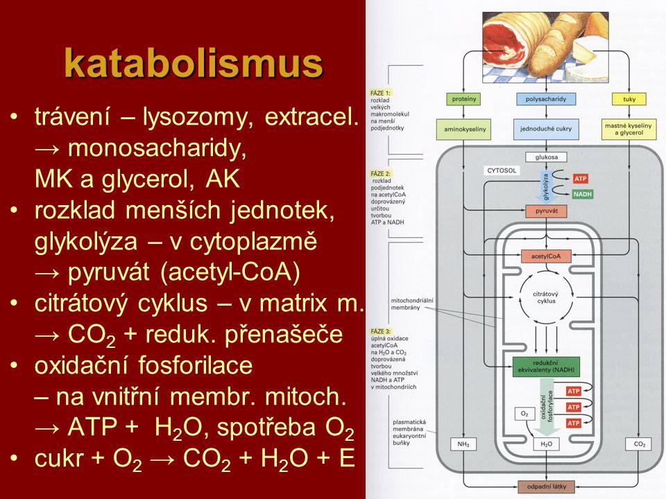 katabolismus trávení – lysozomy, extracel. → monosacharidy,