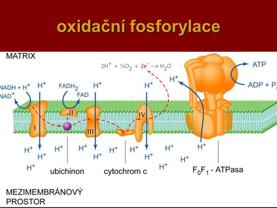 oxidační fosforylace
