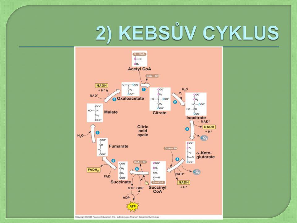 2) KEBSŮV CYKLUS