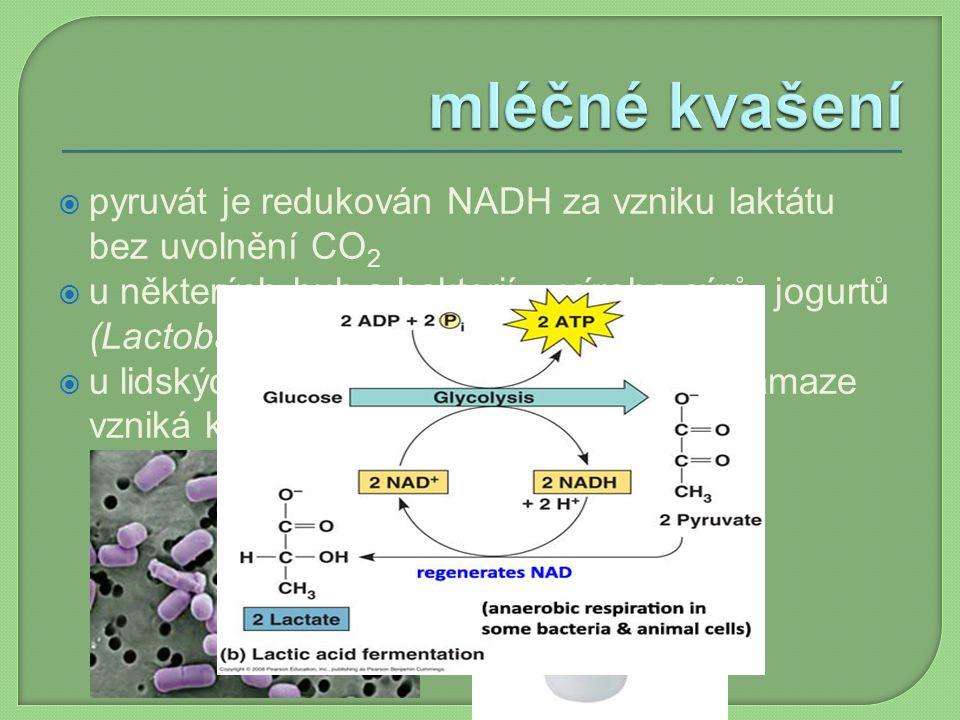 mléčné kvašení pyruvát je redukován NADH za vzniku laktátu bez uvolnění CO2.