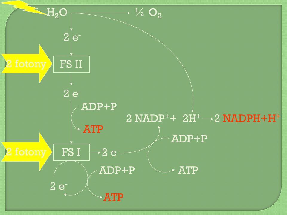 H2O ½ O2. 2 e- 2 fotony. FS II. 2 e- ADP+P. 2 NADP++ 2H+ 2 NADPH+H+ ATP. ADP+P. 2 fotony.