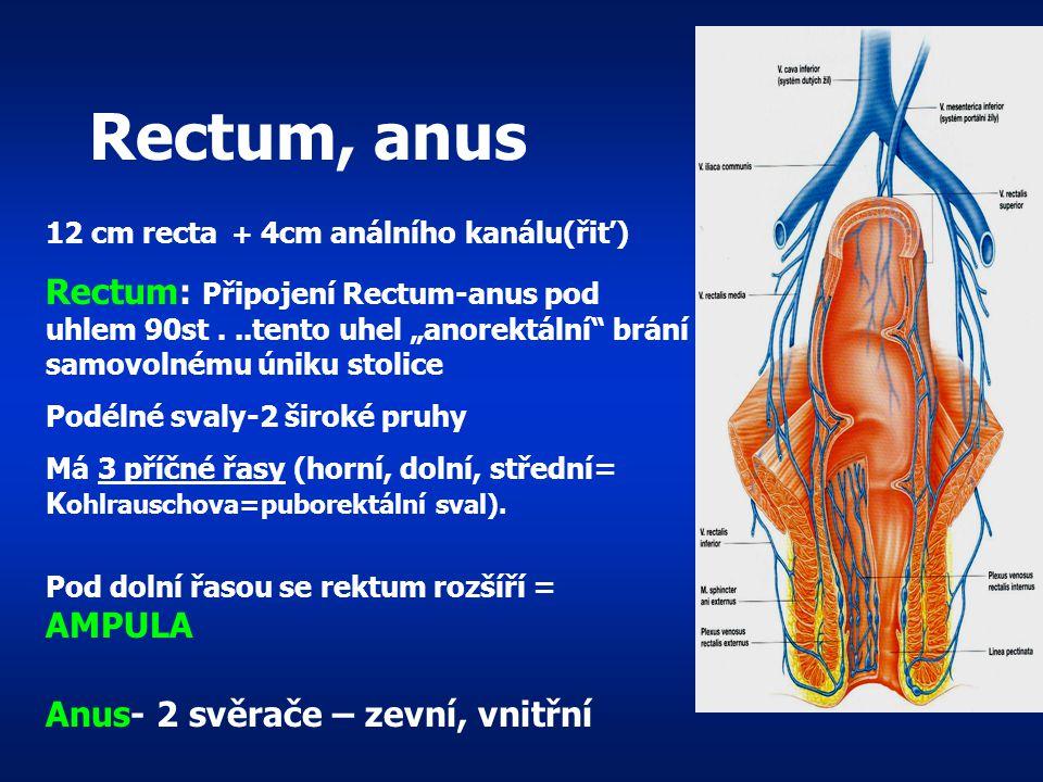 Rectum, anus 12 cm recta + 4cm análního kanálu(řiť)