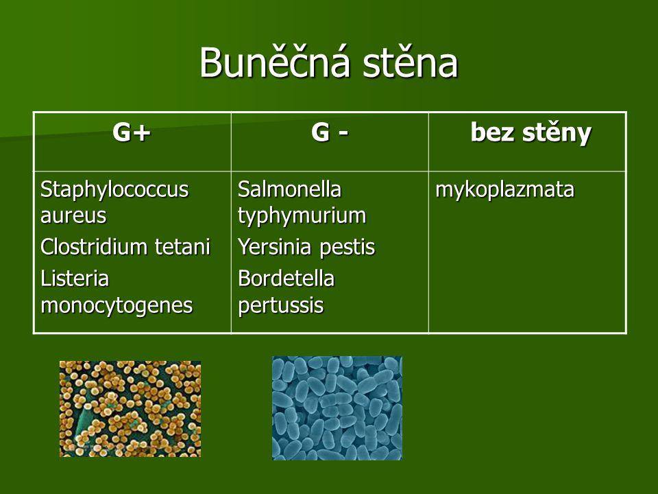 Buněčná stěna G+ G - bez stěny Staphylococcus aureus