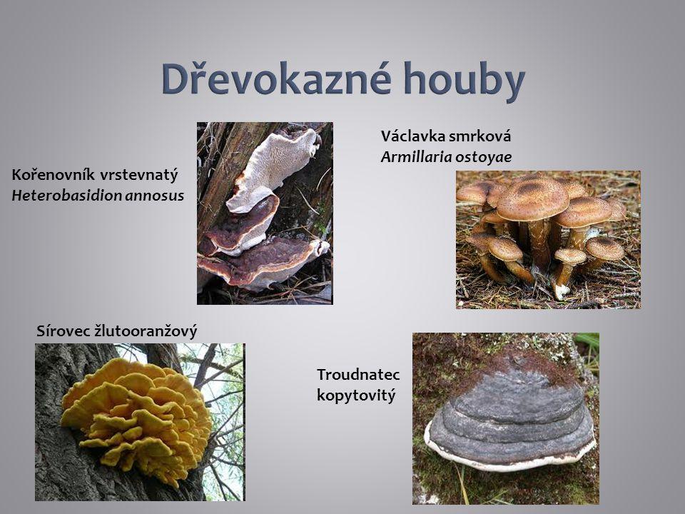 Dřevokazné houby Václavka smrková Armillaria ostoyae