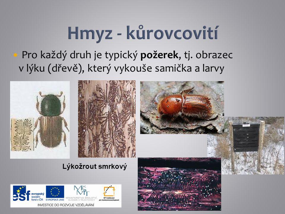 Hmyz - kůrovcovití Pro každý druh je typický požerek, tj. obrazec v lýku (dřevě), který vykouše samička a larvy.
