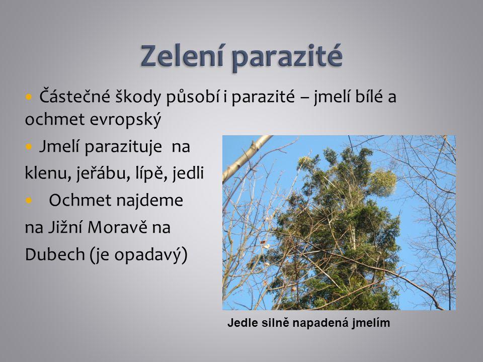 Zelení parazité Částečné škody působí i parazité – jmelí bílé a ochmet evropský. Jmelí parazituje na.