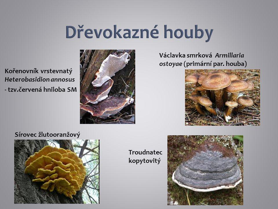 Dřevokazné houby Václavka smrková Armillaria ostoyae (primární par. houba) Kořenovník vrstevnatý Heterobasidion annosus.