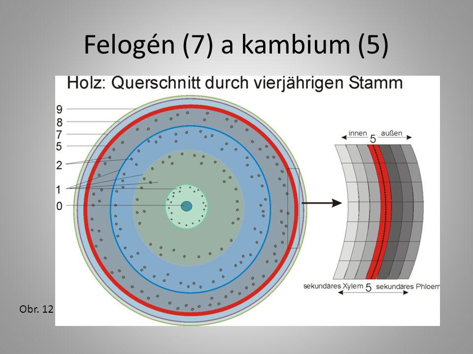 Felogén (7) a kambium (5) Obr. 12