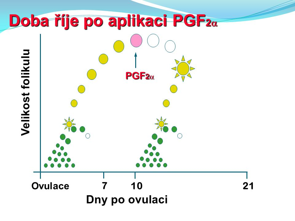 Doba říje po aplikaci PGF2