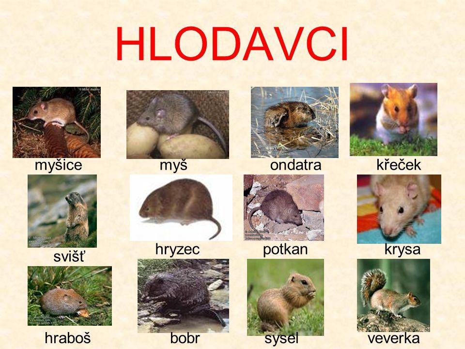 HLODAVCI myšice myš ondatra křeček hryzec potkan krysa svišť hraboš