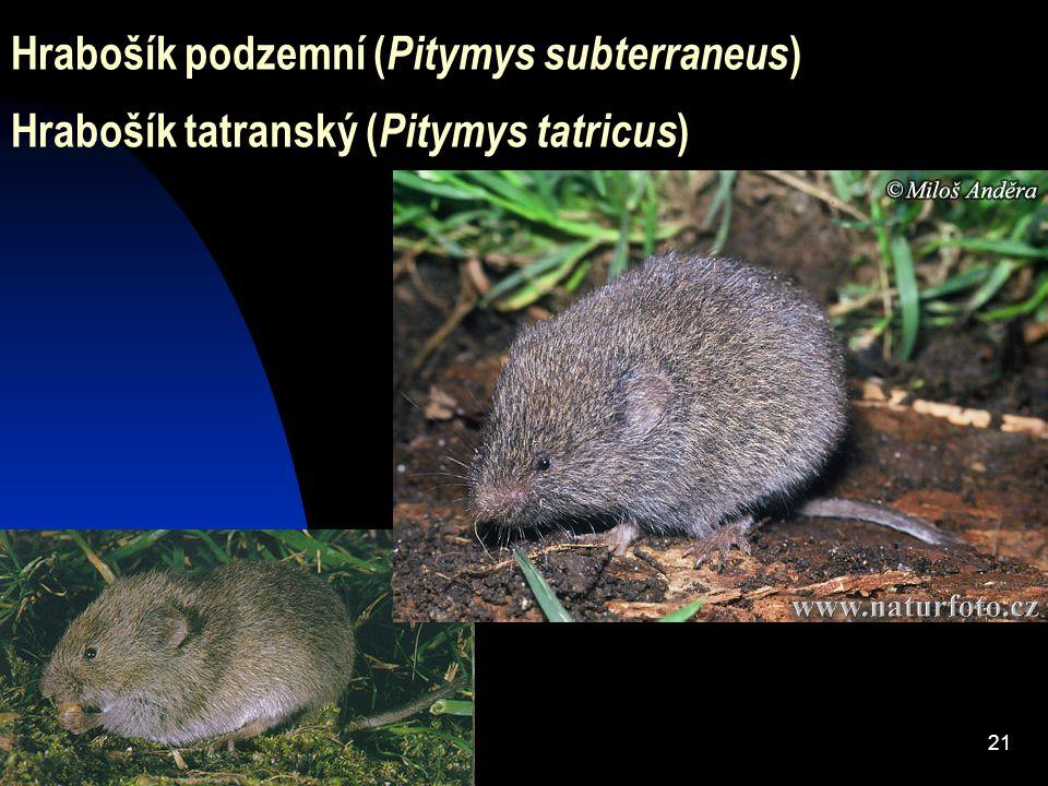 Hrabošík podzemní (Pitymys subterraneus) Hrabošík tatranský (Pitymys tatricus)