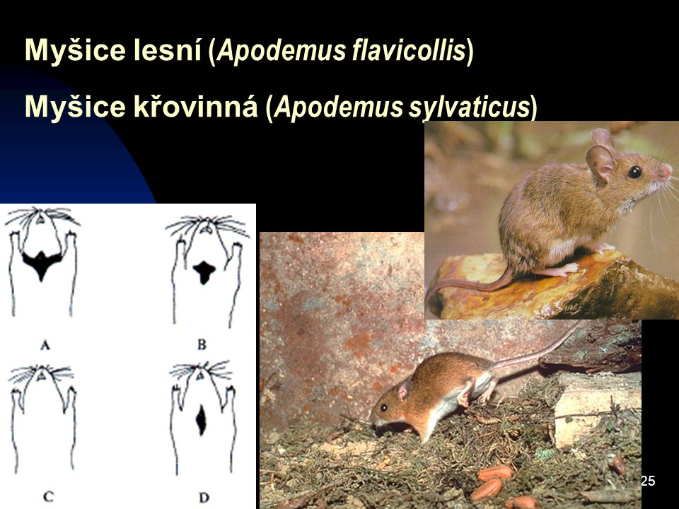 Myšice lesní (Apodemus flavicollis)