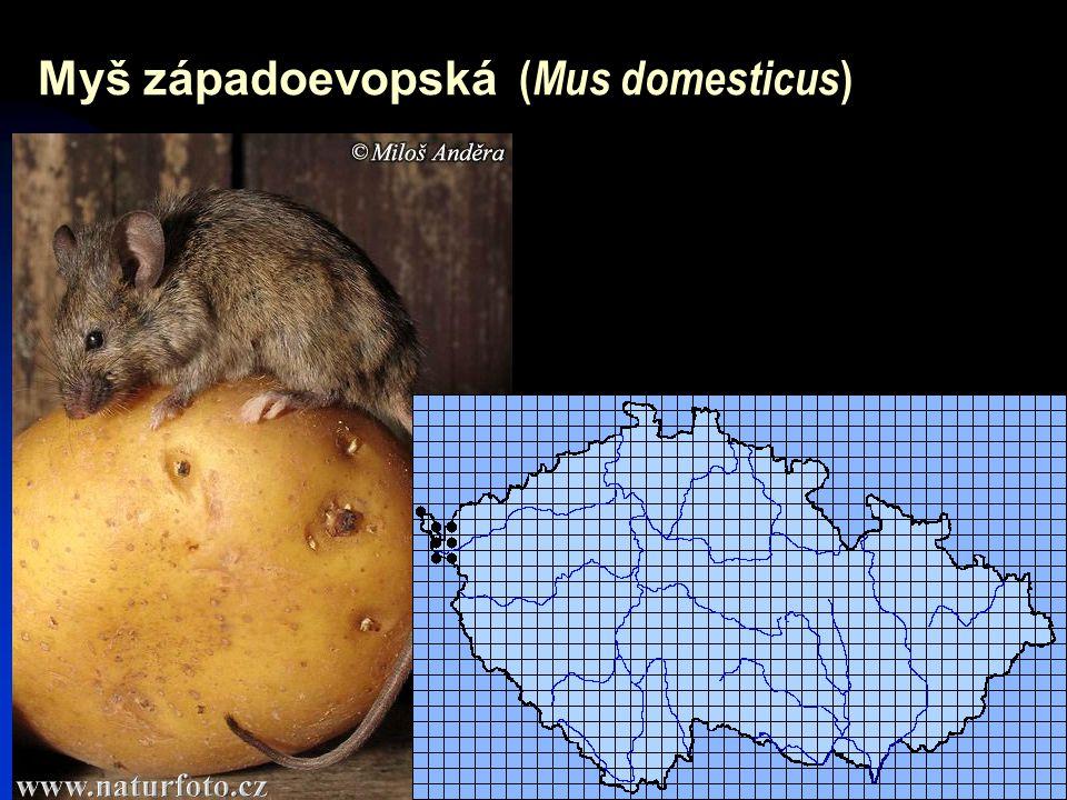 Myš západoevopská (Mus domesticus)