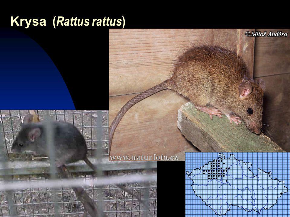 Krysa (Rattus rattus)