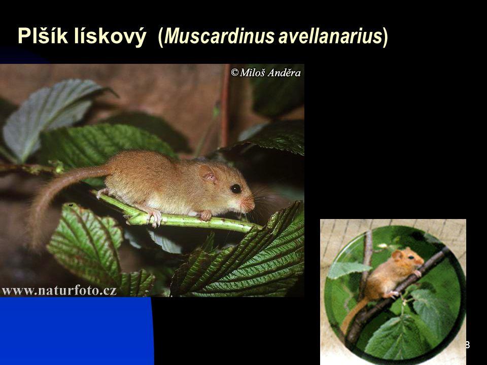 Plšík lískový (Muscardinus avellanarius)