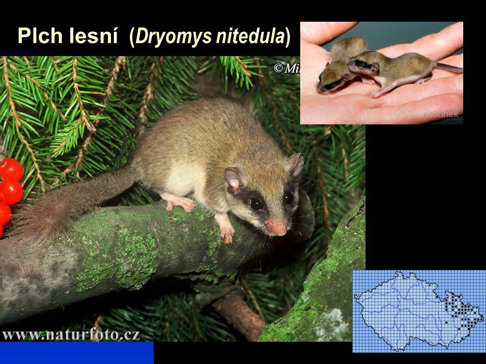 Plch lesní (Dryomys nitedula)