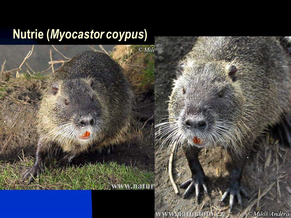 Nutrie (Myocastor coypus)