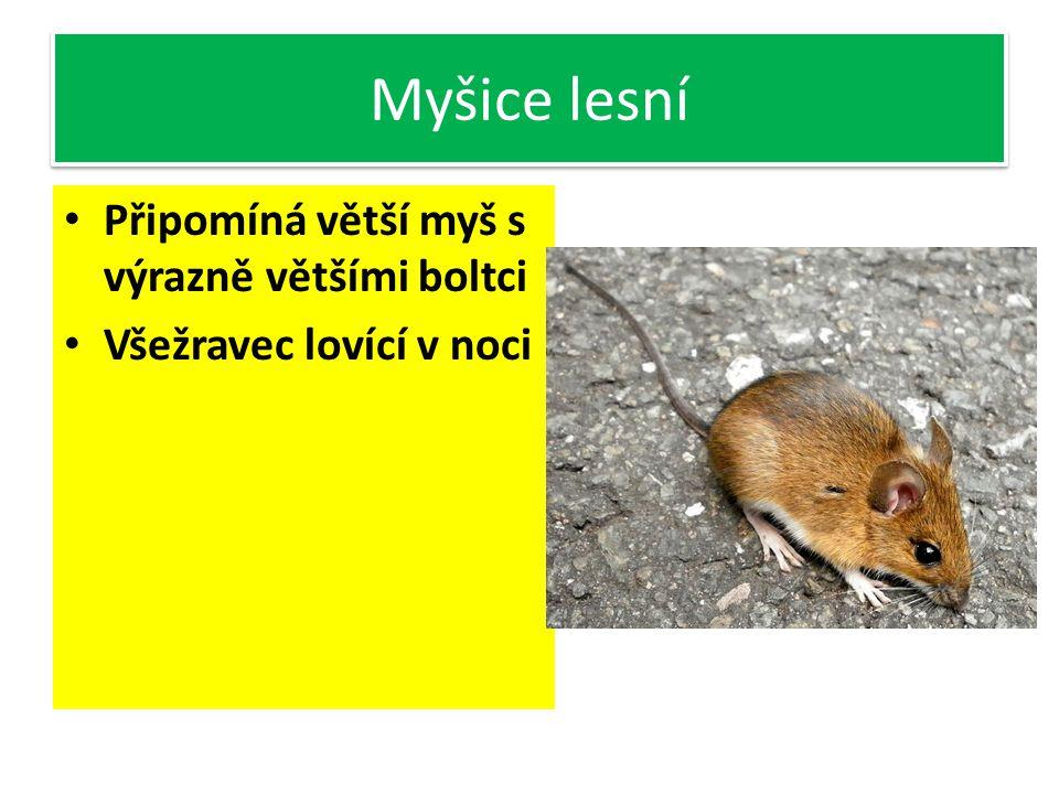Myšice lesní Připomíná větší myš s výrazně většími boltci