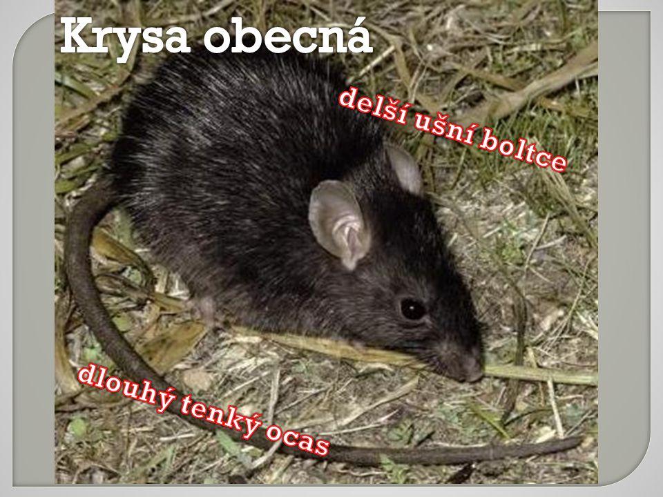 Krysa obecná delší ušní boltce dlouhý tenký ocas